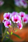 桃红色白的石斛兰属兰花 免版税库存图片