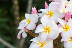 桃红色白色羽毛在庭院里 库存照片