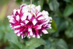 桃红色白色菊花大丽花 库存照片