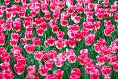 桃红色白色郁金香庭院在春天背景或样式中 免版税库存图片