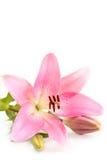 桃红色百合。 免版税库存图片