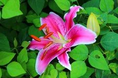 桃红色百合在庭院里在宾夕法尼亚 图库摄影