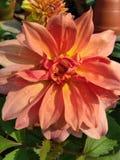 桃红色百合在庭院里 库存照片