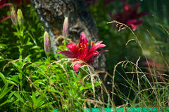 桃红色百合多年生植物 库存图片