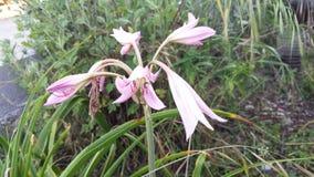 桃红色百合属植物candum 免版税图库摄影
