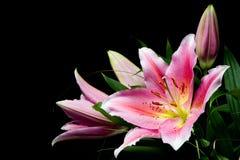 桃红色百合花束 库存照片