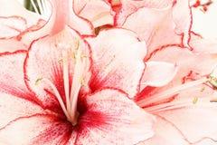 桃红色百合花花束详细资料在白色的 库存照片
