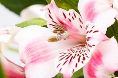 桃红色百合花花束详细资料在白色的 免版税库存图片