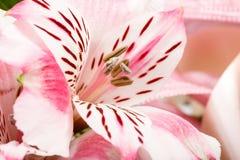 桃红色百合花花束详细资料在白色的 免版税图库摄影