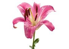 桃红色百合头状花序 库存照片