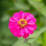 桃红色百日菊属。,花 库存图片
