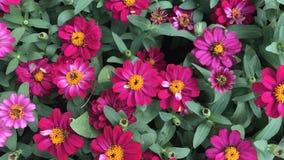 桃红色百日菊属在五颜六色的庭院和的花里 库存图片