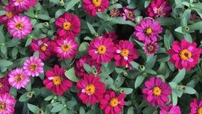 桃红色百日菊属在五颜六色的庭院和的花里 图库摄影