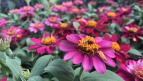桃红色百日菊属在五颜六色的庭院和的花里 免版税库存图片