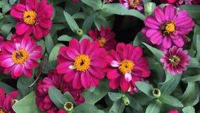 桃红色百日菊属在五颜六色的庭院和的花里 免版税库存照片