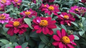 桃红色百日菊属在庭院里 图库摄影