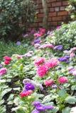 桃红色百日菊属花在庭院里 免版税图库摄影