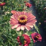 桃红色百日菊属花在庭院里 免版税库存图片