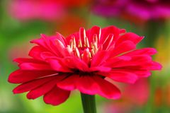 桃红色百日菊属花在我们的庭院里 库存照片