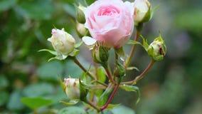 桃红色的一点上升了在背景没有玫瑰的开花的芽 影视素材