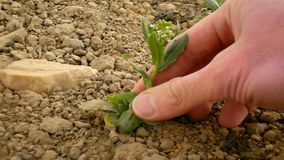 桃红色皮肤手猛拉从极端干燥多灰尘的黏土的小开花植物 和风从根拿走尘土