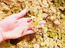 桃红色皮肤手猛拉从湿腐植质黏土的一棵小油菜子植物 人检查质量 图库摄影