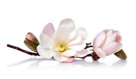 桃红色盛开木兰花