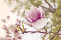 桃红色盛开木兰花 库存照片