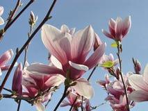 桃红色盛开木兰花 免版税图库摄影