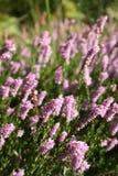 桃红色石南花在草甸 库存照片