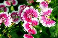 桃红色石竹花或彩虹桃红色 图库摄影