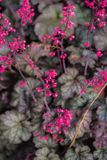 桃红色矾根属植物 图库摄影
