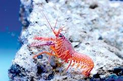 桃红色礁石龙虾 库存图片