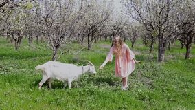 桃红色礼服的金发碧眼的女人喂养草一只山羊 股票录像