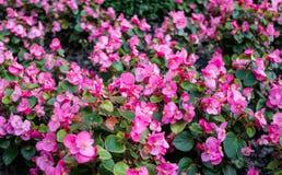 桃红色秋海棠在秋天庭院里 库存图片