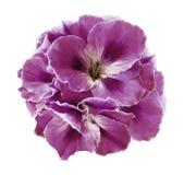 桃红色秋海棠花束在白色的隔绝了与裁减路线的背景 没有阴影的特写镜头 免版税库存图片