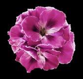 桃红色秋海棠花束在黑色的隔绝了与裁减路线的背景 没有阴影的特写镜头 免版税库存图片
