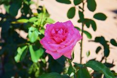 桃红色紫罗兰在被弄脏的背景上升了 库存图片