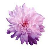 桃红色紫罗兰色的菊花 开花在与裁减路线的被隔绝的白色背景,不用阴影 特写镜头 对设计 免版税库存照片