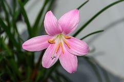 桃红色紫色Zephyranthes花,关闭,被隔绝 免版税库存图片