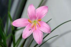 桃红色紫色Zephyranthes花,关闭,被隔绝 免版税库存照片