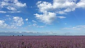 桃红色紫苏开花风景 免版税图库摄影