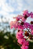 桃红色紫薇 免版税库存图片