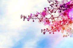 桃红色紫薇speciosa花有蓝天背景 免版税库存图片