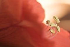 桃红色红色与黄色雌蕊的冬天开花的花孤挺花与宏观细节 免版税库存照片