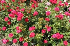 桃红色红色玫瑰 免版税库存照片