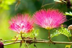 桃红色红色粉扑花 库存图片