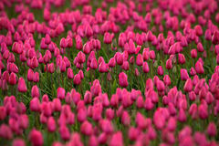 桃红色红色美丽的郁金香在与阳光,花卉背景,荷兰,庭院场面,荷兰的春天调遣 库存图片