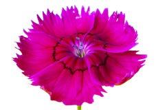 桃红色红色花a 库存图片