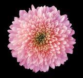 桃红色红色紫色花菊花,庭院花,染黑与裁减路线的被隔绝的背景 特写镜头 没有影子 绿色c 免版税库存照片